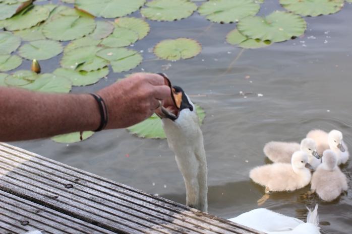 Zwaan eet uit de hand